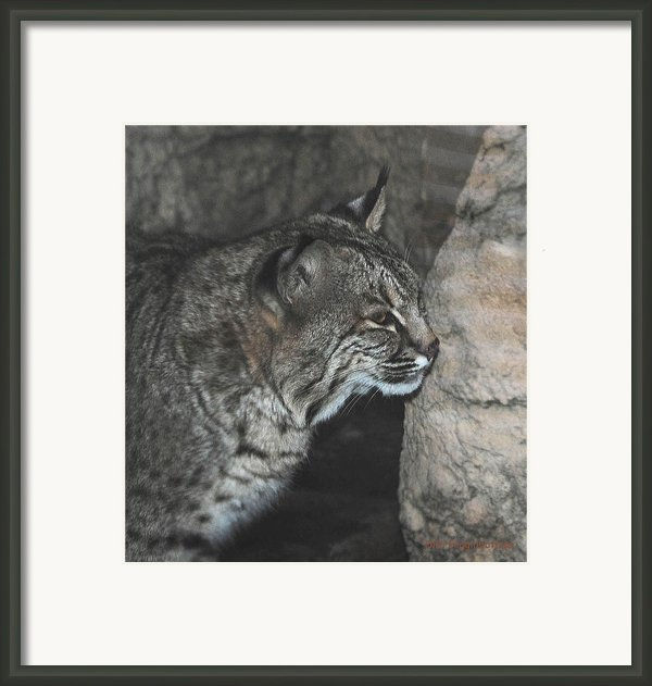 Bobcat Love Ii Framed Print By Didi Higginbotham