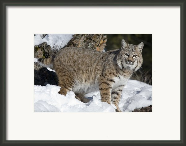 Bobcat Lynx Rufus In The Snow Framed Print By Matthias Breiter