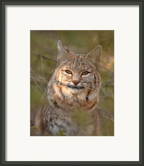 Bobcat Portrait Surrounded By Pine Framed Print By Max Allen