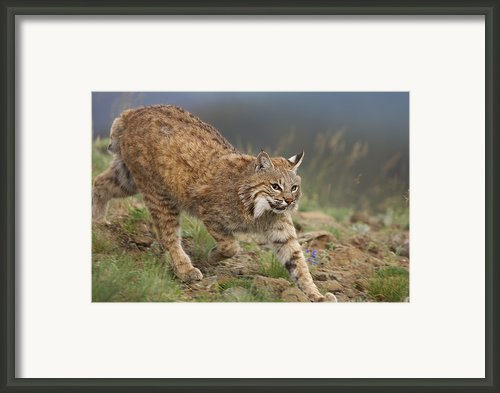 Bobcat Stalking North America Framed Print By Tim Fitzharris