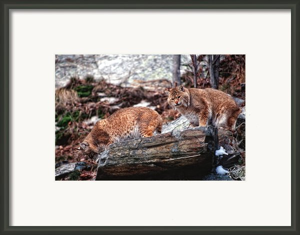 Bobcats On The Loose Framed Print By Brad Hoyt