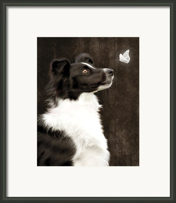 Border Collie Dog Watching Butterfly Framed Print By Ethiriel  Photography