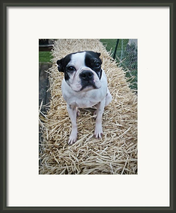 Boston Terrier Framed Print By Debbie Pippin