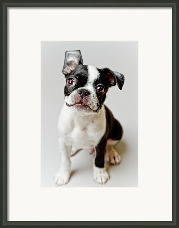 Boston Terrier Dog Puppy Framed Print By Square Dog Photography