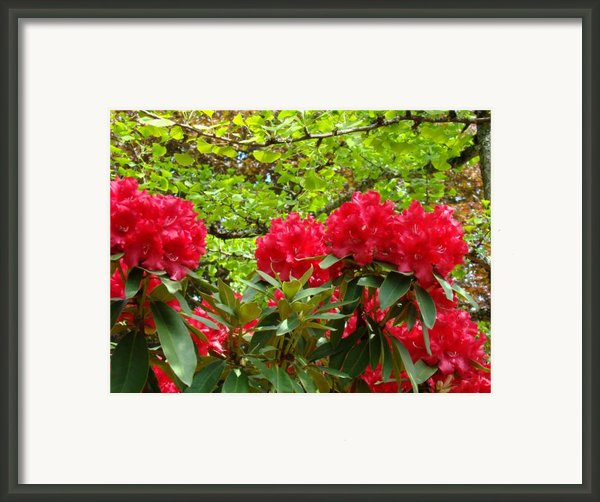 Botanical Garden Art Prints Red Rhodies Trees Baslee Troutman Framed Print By Baslee Troutmanfine Art Prints Collections