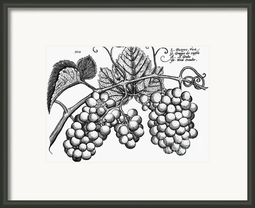 Botany: Grapes Framed Print By Granger