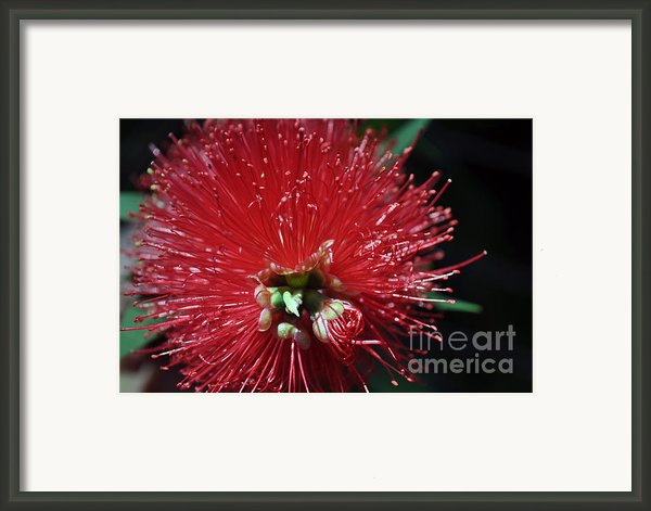 Bottle Brush Framed Print By Joanne Kocwin