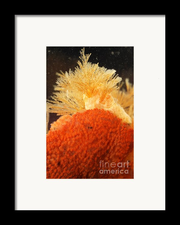 Bowerbanks Halichondria & Spiral-tufted Framed Print By Ted Kinsman