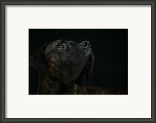 Boxer Dog Looking Up Framed Print By Stasker