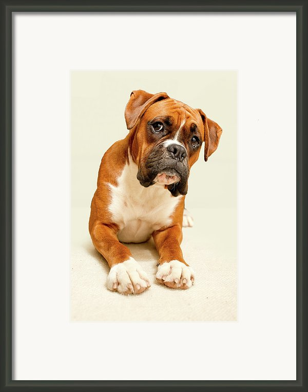 Boxer Dog On Ivory Backdrop Framed Print By Danny Beattie Photography