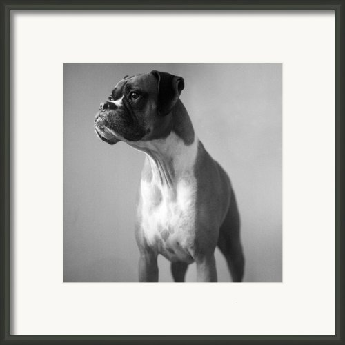 Boxer Dog Framed Print By Stephanie Mcdowell