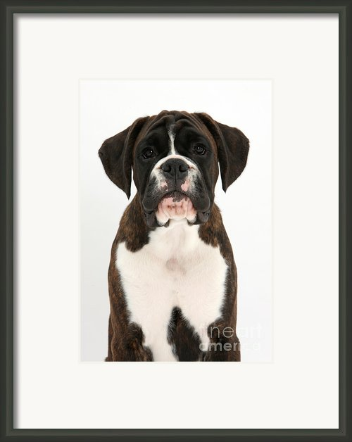 Boxer Pup Framed Print By Mark Taylor