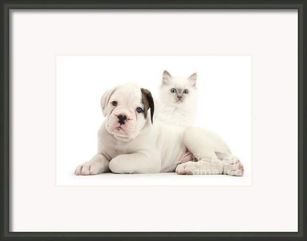 Boxer Puppy And Blue-point Kitten Framed Print By Mark Taylor