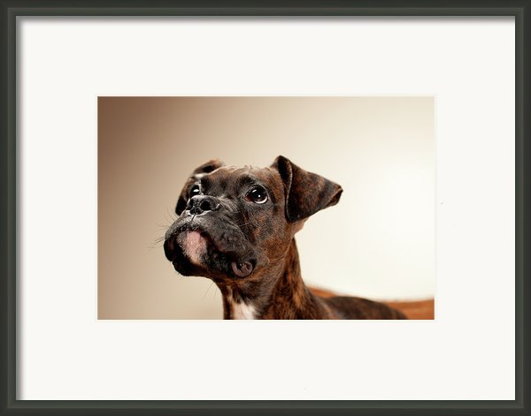 Boxer Puppy Framed Print By Chad Latta