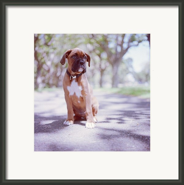 Boxer Puppy Framed Print By Diyosa Carter