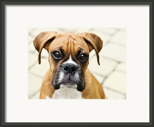 Boxer Puppy Framed Print By Jody Trappe Photography