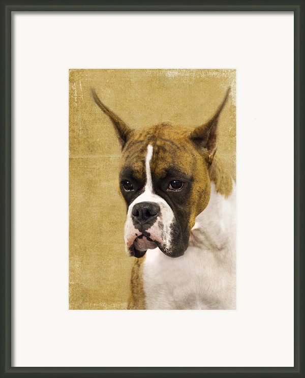 Boxer Framed Print By Rebecca Cozart