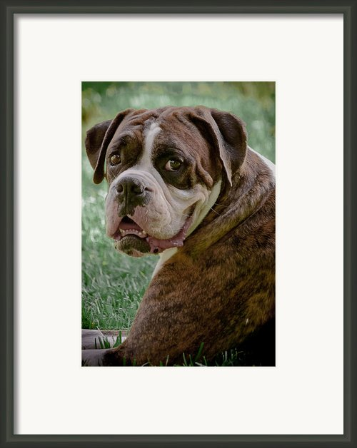Boxer Smiles Framed Print By Digiart Diaries By Vicky Browning