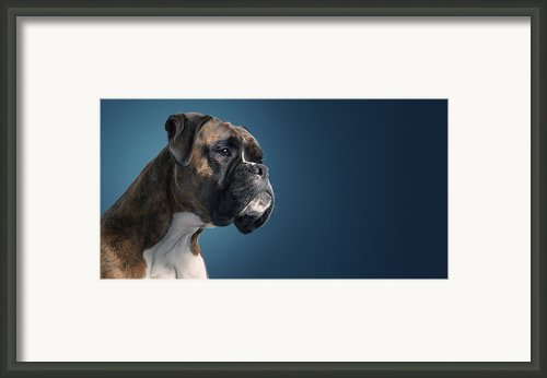 Boxer Framed Print By Tim Flach