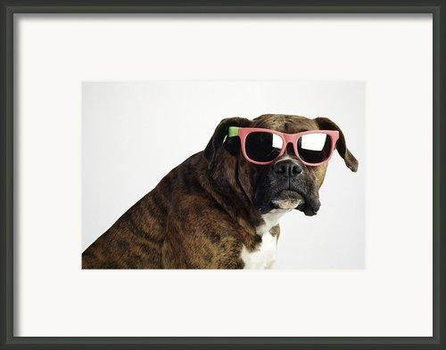 Boxer Wearing Sunglasses Framed Print By Ron Nickel