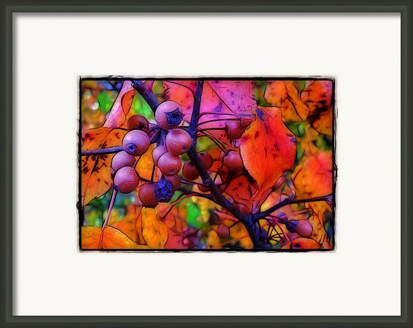 Bradford Pear In Autumn Framed Print By Judi Bagwell
