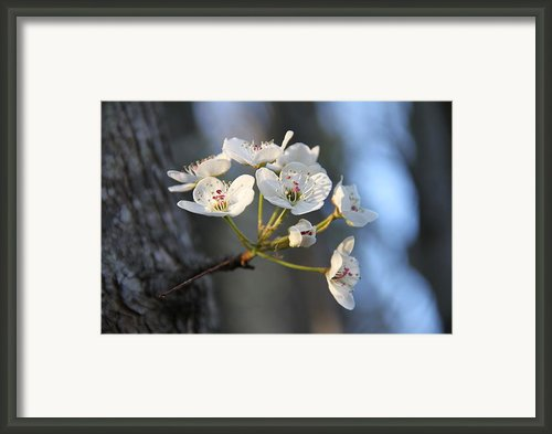 Bradford Pear Tree Blossoms Framed Print By Wendy Robertson