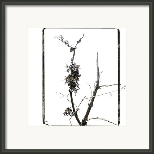 Branch Of Dried Out Flowers. Framed Print By Bernard Jaubert