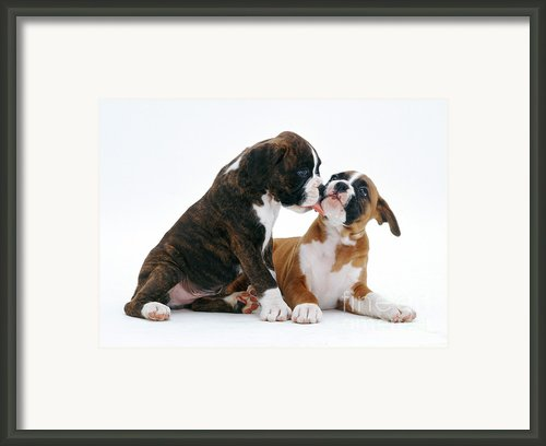 Brindle Boxer Pups Framed Print By Jane Burton