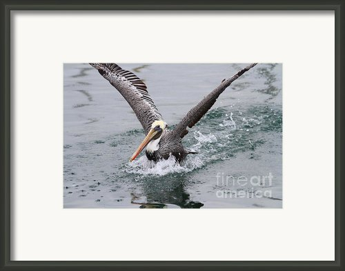 Brown Pelican Landing On Water . 7d8372 Framed Print By Wingsdomain Art And Photography