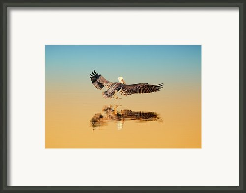 Brown Pelican Framed Print By Susan Gary