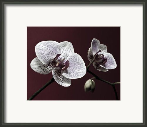 Brown Purple White Orchids Flower Macro - Flower Photograph Framed Print By Artecco Fine Art Photography - Photograph By Nadja Drieling