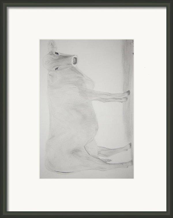 Brown Swiss Milk Cow Framed Print By Art Of The Maverick