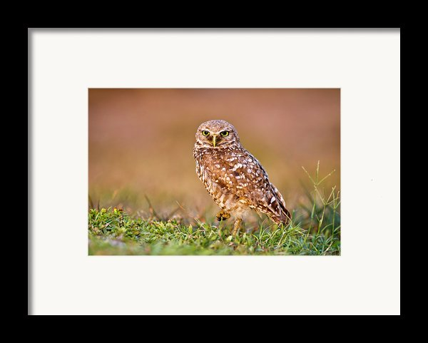 Burrowing Owl Framed Print By Tnwa Photography