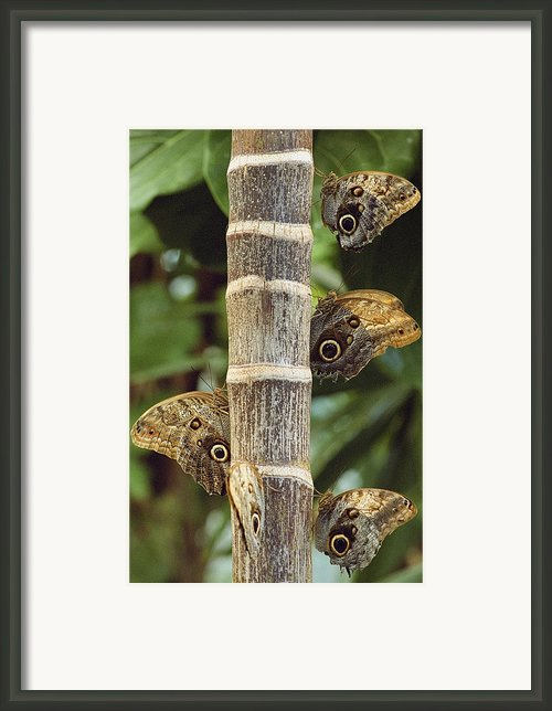 Butterflies Framed Print By Bilderbuch