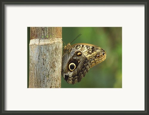 Butterfly Framed Print By Bilderbuch