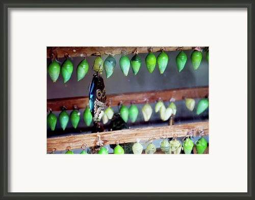 Butterfly With Butterfly Chrysalis 1 Framed Print By Andee Photography
