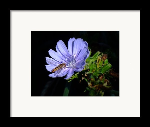 Buzzy In Blue Framed Print By Alison Richardson-douglas