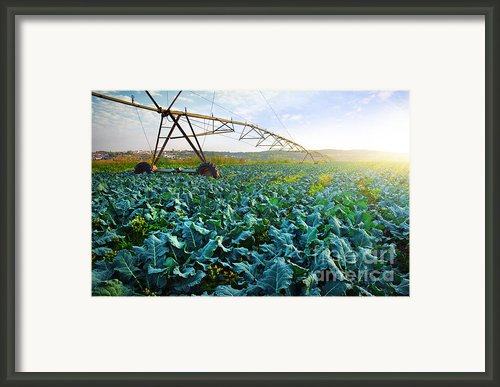 Cabbage Growth Framed Print By Carlos Caetano