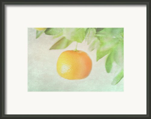 Calamondin Miniature Orange Framed Print By Peter Chadwick Lrps