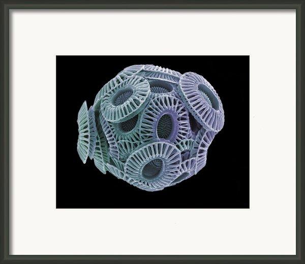Calcareous Phytoplankton, Sem Framed Print By Steve Gschmeissner
