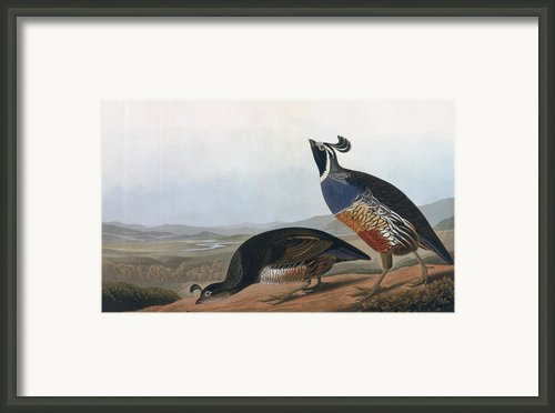 Californian Partridge Framed Print By John James Audubon