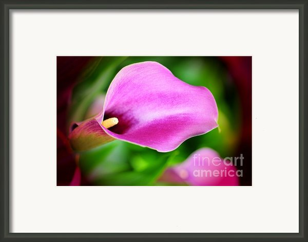 Calla Lilly Framed Print By Kathleen Struckle