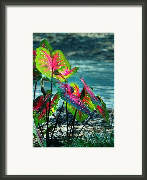 Calladiums Framed Print By Judi Bagwell