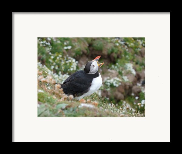Calling Puffin Framed Print By George Leask