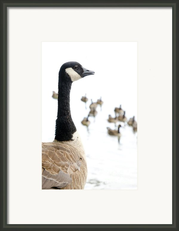 Canada Geese Goose With Wetlands Birds And Waterfowl Framed Print By Andy Smy