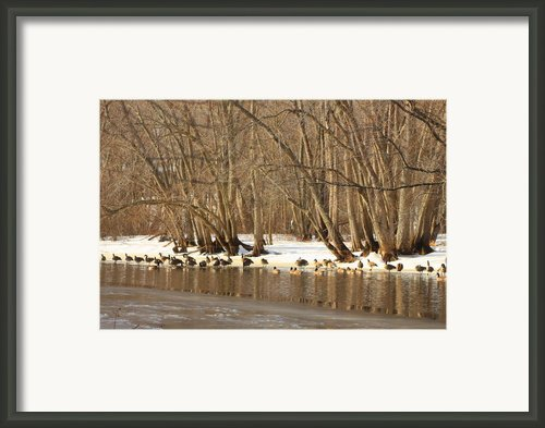 Canada Geese On Concord River Framed Print By John Burk