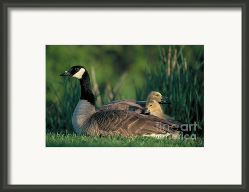 Canada Goose With Goslings Framed Print By Alan And Sandy Carey And Photo Researchers