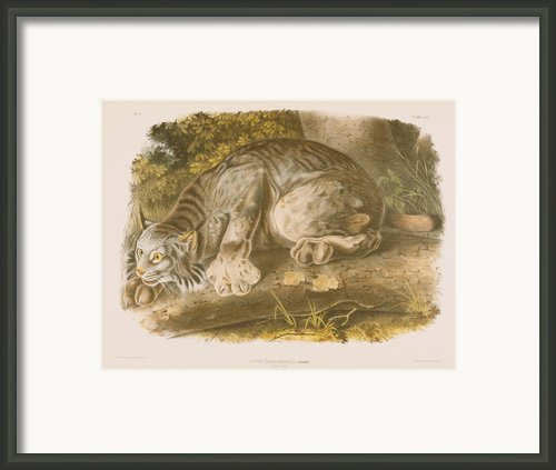 Canada Lynx Framed Print By John James Audubon