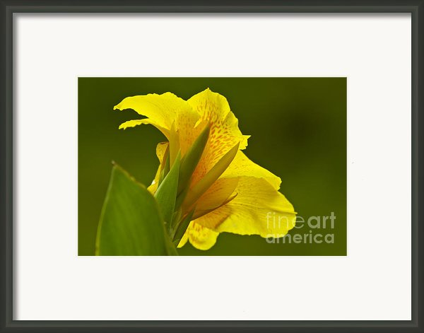 Canna Lily Framed Print By Heiko Koehrer-wagner