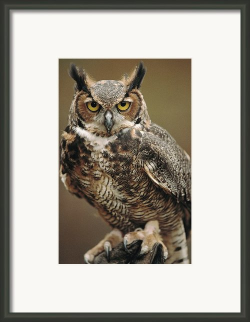 Captive Great Horned Owl, Bubo Framed Print By Raymond Gehman
